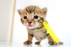 ベンガル子猫 11番レモン 20120216-1