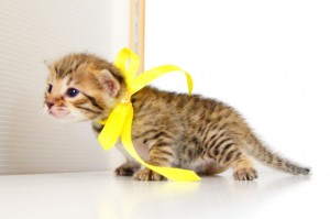 ベンガル子猫 11番レモン 20120216-3