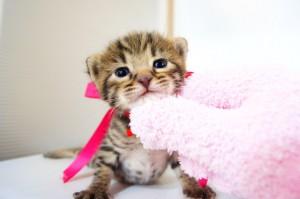 ベンガル子猫 12番ローズ 20120216-3