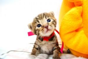 ベンガル子猫 12番ローズ 20120216-1