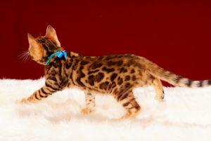 ベンガルの子猫 2017年3月17日生まれ S329番あお君