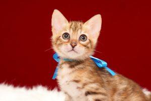 ベンガルの子猫 2017年3月27日生まれ 335番ブルー君