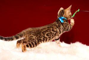 ベンガルの子猫 2017年3月3日生まれ 322番 ブルー君