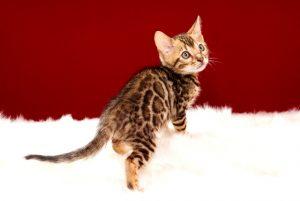 ベンガルの子猫 2017年4月13日生まれ 341番パープルちゃん