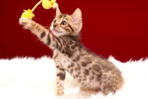 ベンガルの子猫 2017年4月13日生まれ 342番イエローちゃん