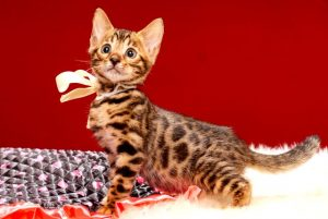 ベンガルの子猫 2017年6月19日生まれ 368番ホワイトちゃん