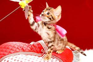 ベンガルの子猫 2017年6月19日生まれ 367番ピンクちゃん