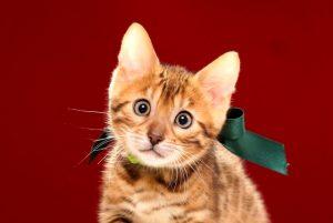 ベンガルの子猫 2017年4月7日生まれ 357番みどり君