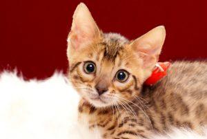 ベンガルの子猫 2017年4月7日生まれ 356番あか君