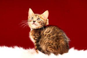 ベンガルの子猫 2017年4月7日生まれ 355番しろ君