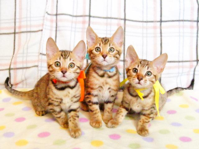 ベンガル 子猫 bengal