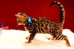 ベンガルの子猫 2017年4月27日生まれ 349番ブルー君
