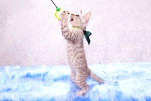 ベンガルの子猫 2017年4月27日生まれ 350番グリーン君