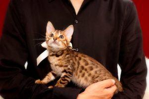 ベンガルの子猫 2017年4月27日生まれ 353番ホワイトちゃん