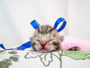 ベンガル子猫 19番ブルーくん