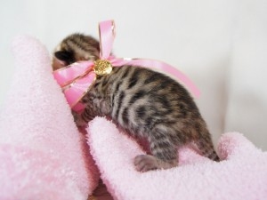 ベンガル子猫 16番ピンクちゃん