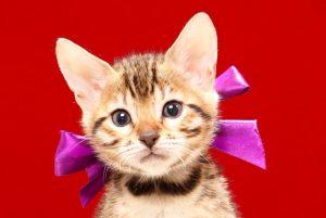 ベンガルの子猫 2017年7月18日生まれ 387番むらさきちゃん