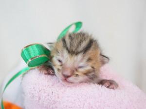 ベンガル子猫 18番グリーンくん