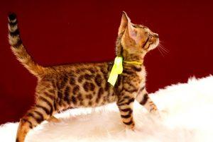 ベンガルの子猫 2017年4月25日生まれ 347番イエローちゃん
