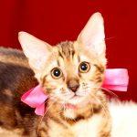 ベンガルの子猫 363ピンク