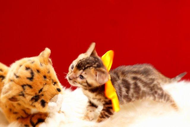 ベンガルの子猫 2017年7月18日生まれ 385番だいだい君