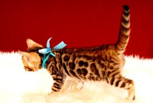 ベンガルの子猫 2017年7月18日生まれ 384番みずいろ君