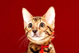 ベンガルの子猫370レッド2