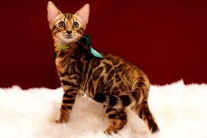 ベンガルの子猫 2017年4月25日生まれ 339番グリーン君