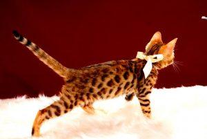 ベンガルの子猫 2017年5月6日生まれ 361番 シロちゃん