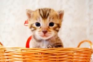 ベンガル子猫 20番あかくん1