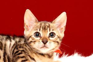 ベンガルの子猫 2017年8月1日生まれ 396番あかちゃん