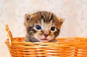 ベンガル子猫 21番しろくん1