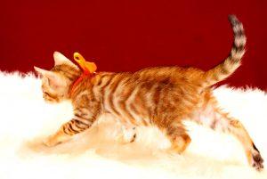 ベンガルの子猫 2017年8月1日生まれ 395番オレンジ君