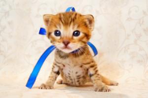 ベンガル子猫 23番あおくん1