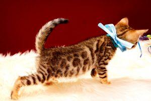 ベンガルの子猫 2017年8月1日生まれ 394番みずいろ君