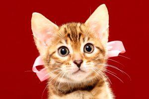 ベンガルの子猫 2017年8月1日生まれ 398番ピンクちゃん