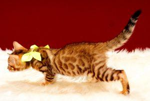 ベンガルの子猫 2017年8月1日生まれ 397番イエロー