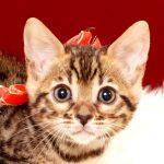 ベンガルの子猫 2017年8月13日生まれ 400番あかちゃん