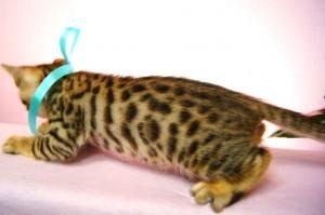 ベンガル子猫 26番アクアくん3