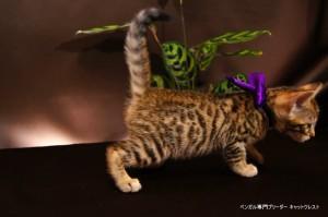 ベンガル子猫69番むらさき7