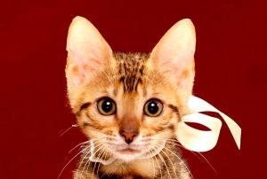 ベンガル子猫361シロ