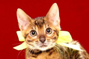 ベンガルの子猫369イエロー