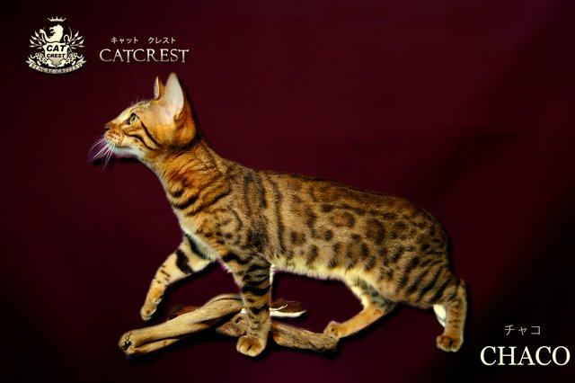 ベンガル猫 チャコ
