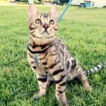 ベンガル猫ナイト910-2
