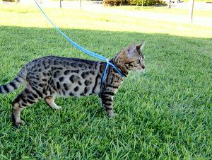 ベンガル猫ナイト910-3