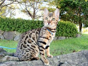 ベンガル猫ナイト910-4