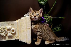 ベンガル子猫69番むらさき9