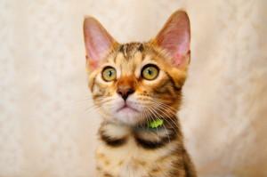 ベンガル子猫16番グリーンくん