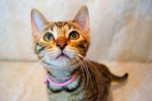 ベンガル子猫16番ピンクちゃん2