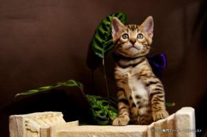 ベンガル子猫69番むらさき3